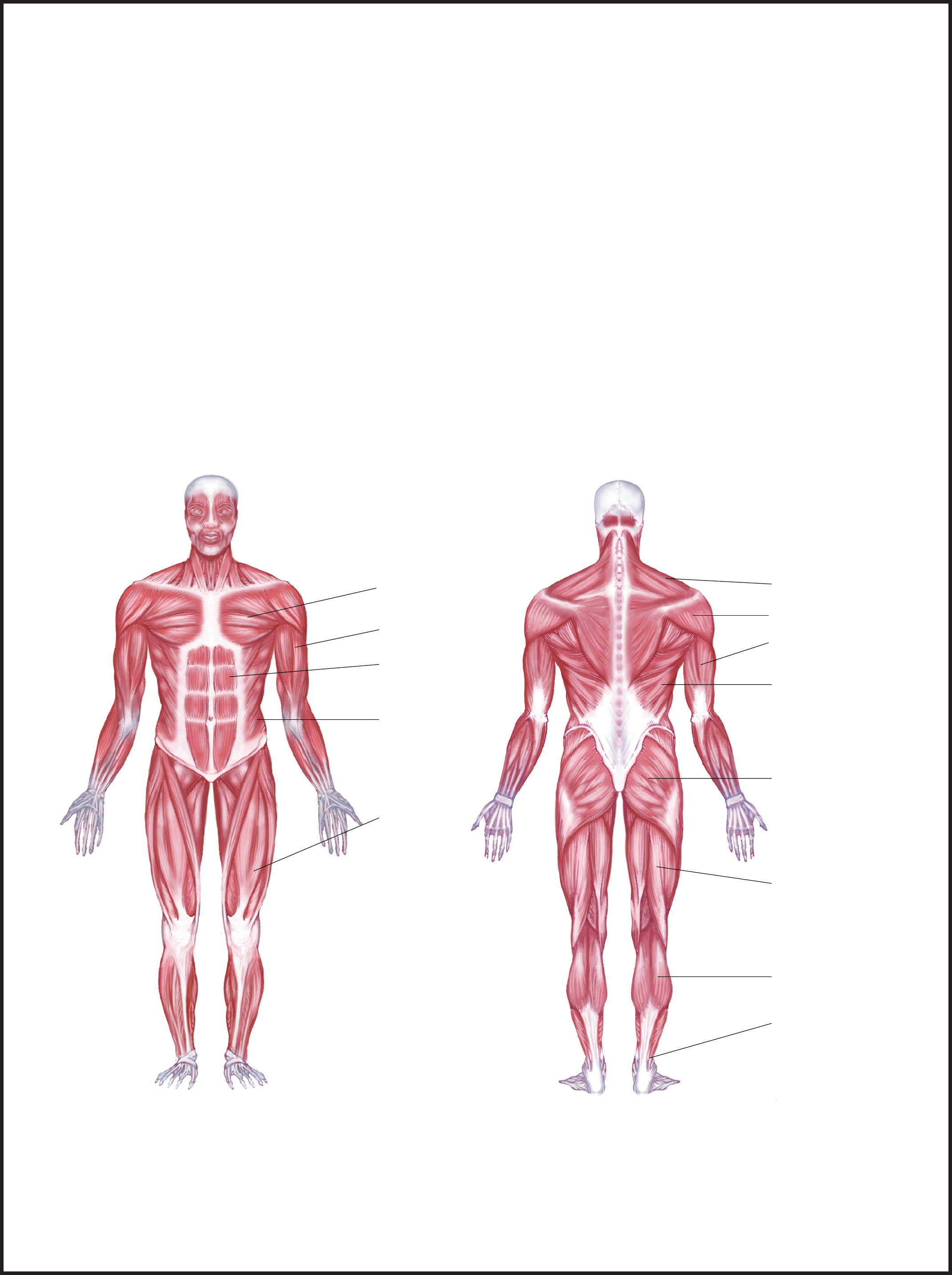 Labeled Muscle Diagram Chart Free Download – Muscle Chart Template