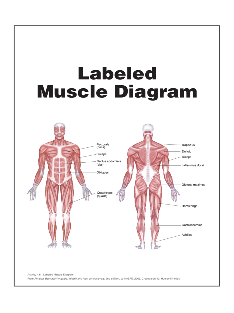 Labeled Muscle Diagram Chart