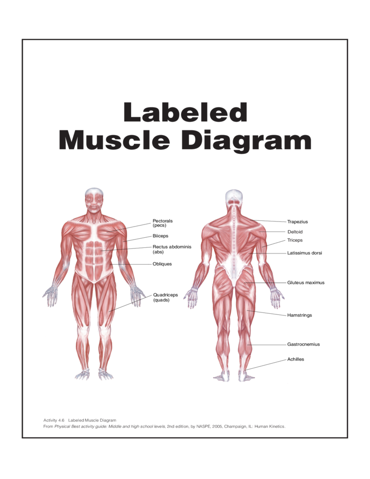Muscle diagram chart tenderness labeled muscle diagram chart free download muscles ccuart Image collections