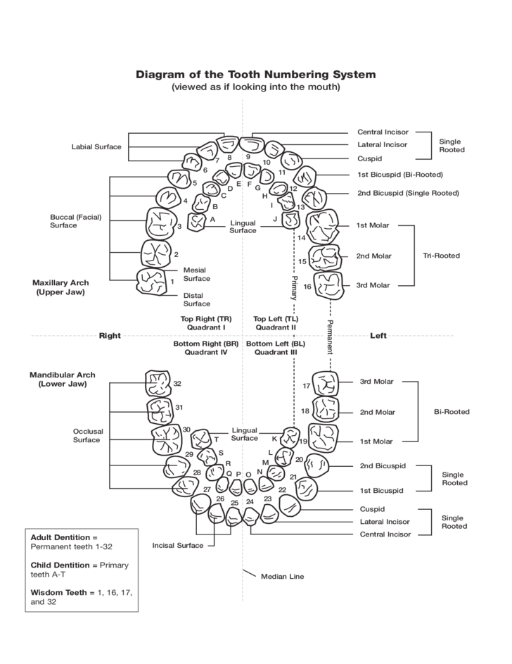 Tooth Numbering Chart Free Download