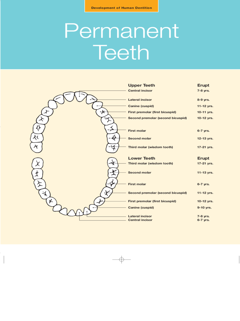 Teeth Chart 4 Free Templates In Pdf Word Excel Download